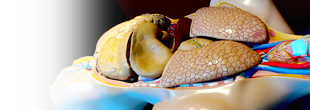 Photo: anatomical model of lungs and digestive system